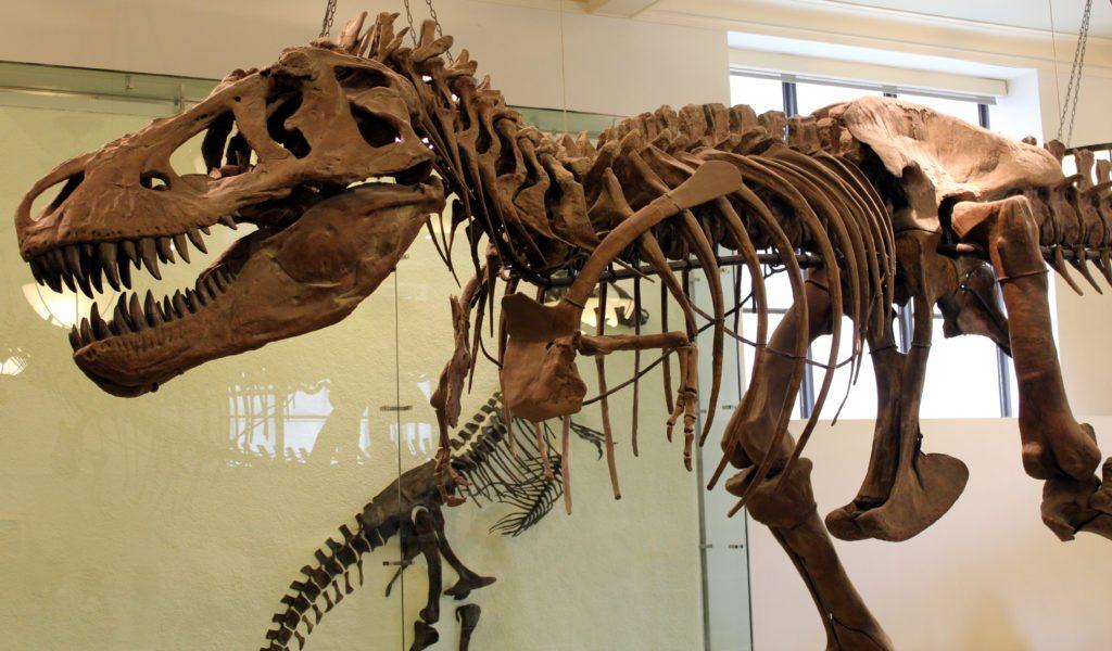 tiranosaurux en museo historia natural