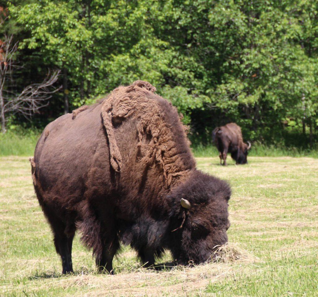 parc omega bufalo