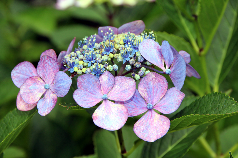 flor Hortensia Japón