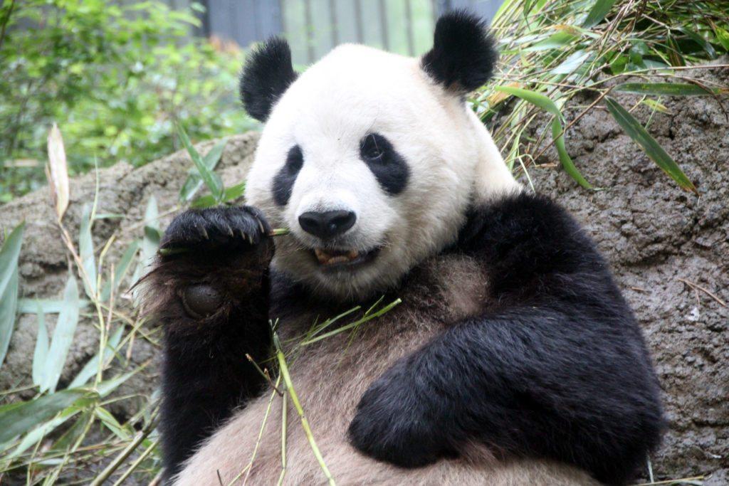 panda zoo ueno, tokio
