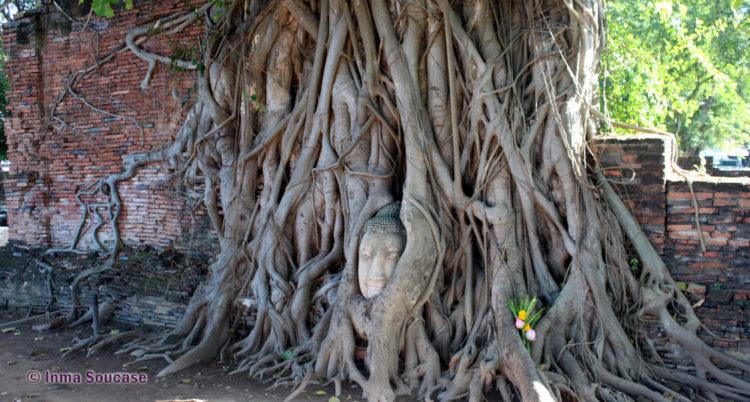 Wat Mahathat - cabez buda arbol