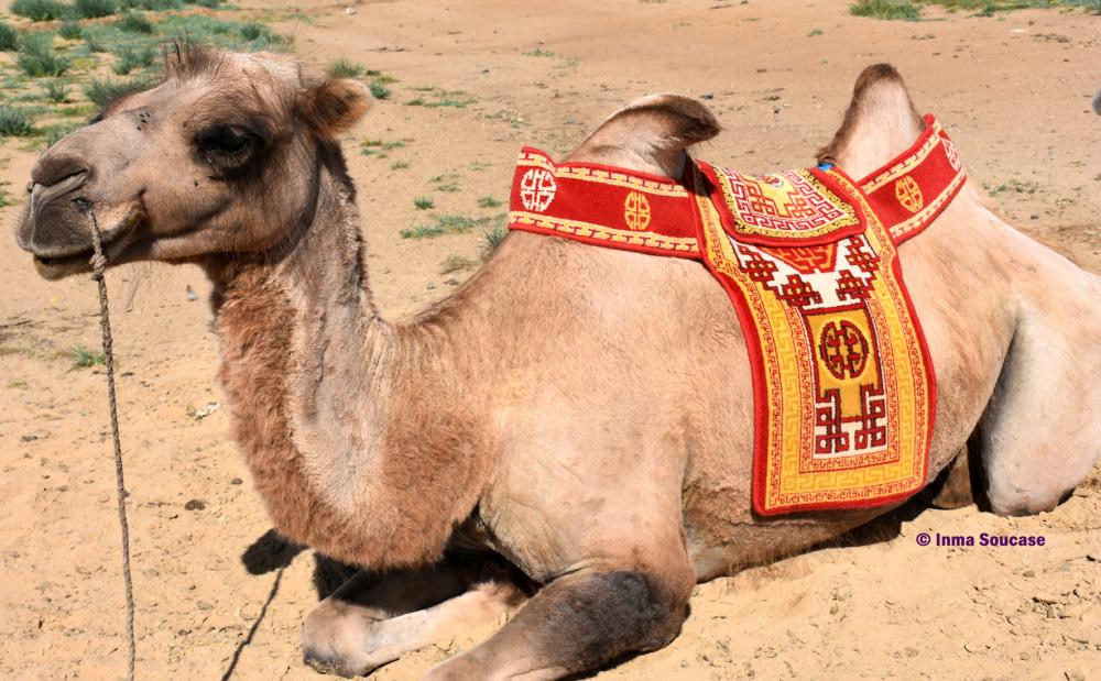 camello-mongolia
