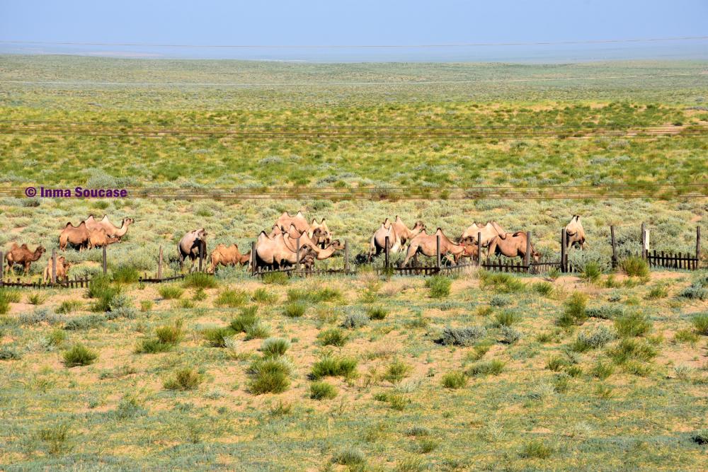 desierto-gobi-camellos-mongolia
