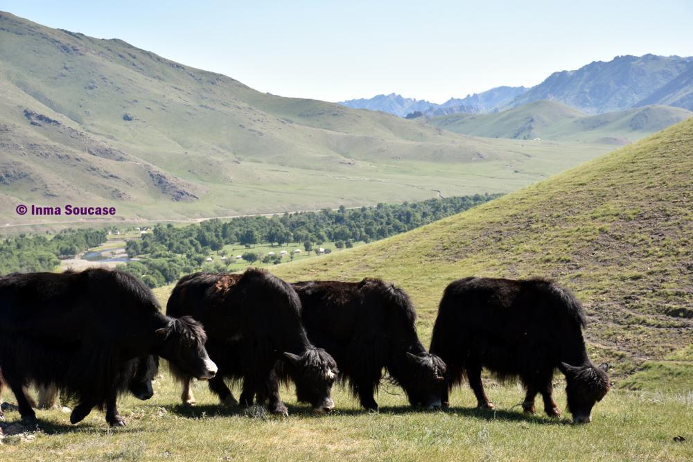 yaks-mongoles-mongolia