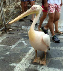 pelicano-petros-mikonos