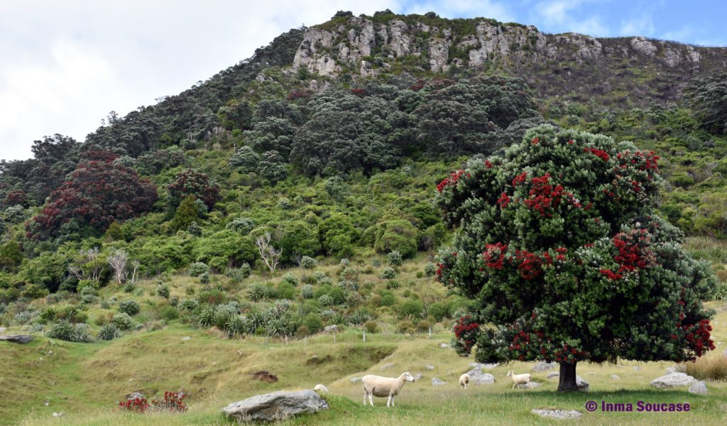 Monte Maunganui - arbol kaui