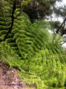 planta hoja nueva zelanda